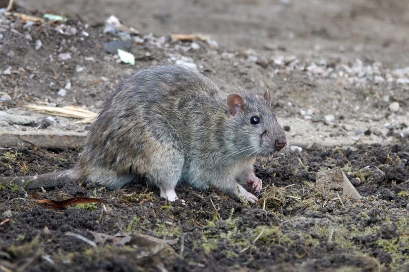 brown-rat