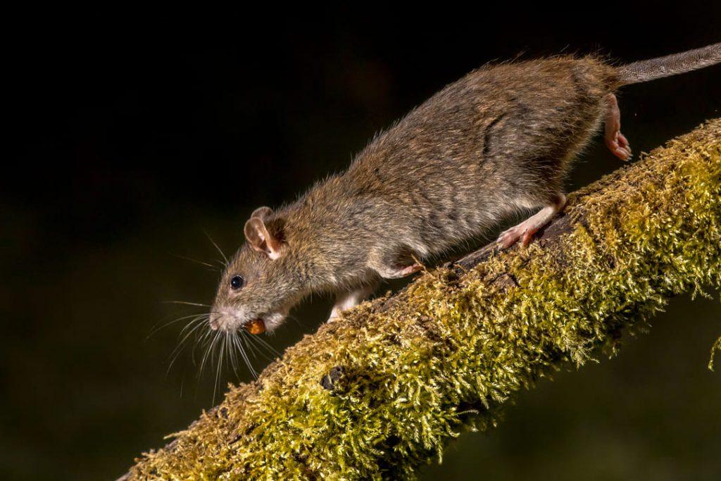 wild-brown-rat